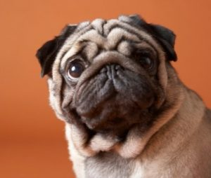 Pug Puppies For Sale in New York