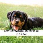 Rottweiler Breeders in Florida