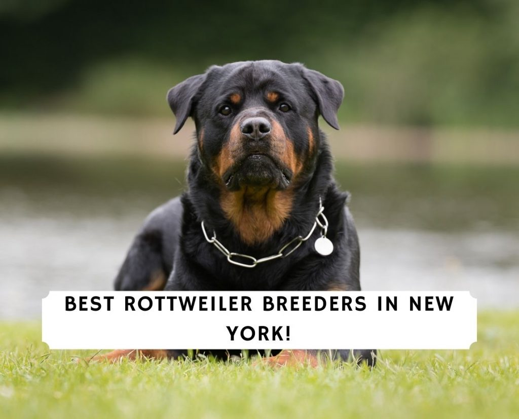 Rottweiler Breeders in New York
