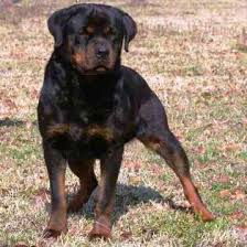 Rottweiler Puppies for sale in North Carolina