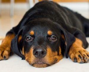 Rottweiler puppies in North Carolina