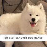 Samoyed Dog Names