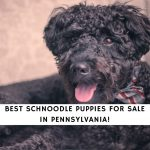 Schnoodle Puppies For Sale in Pennsylvania
