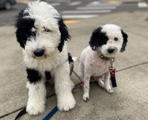 Sheepadoodle puppies in Florida