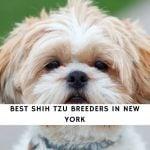 Shih Tzu Breeders in New York