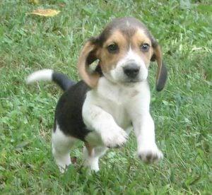 Shiloh Little Beagles