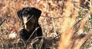 Silverhill Rottweilers