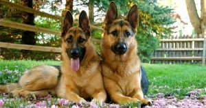 Why Get a German Shepherd Puppy in Florida