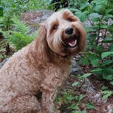Southern Maine Labradoodles