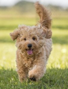 Time It Takes To Train A Goldendoodle