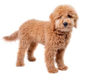 Toy Goldendoodle Breeders