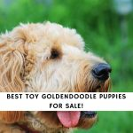 Toy Goldendoodle Puppies for Sale