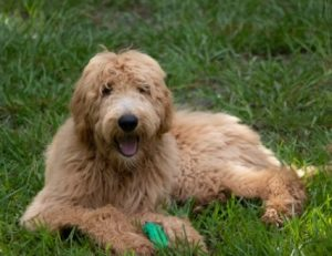 Training a Male Female Goldendoodle