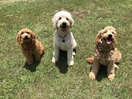 Twin Flames Farms Goldendoodles