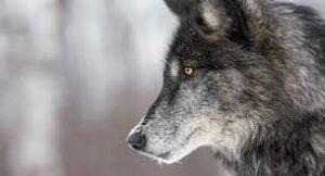 Female Black Wolf Names