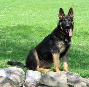 Vom Haus Schutz German Shepherds K9