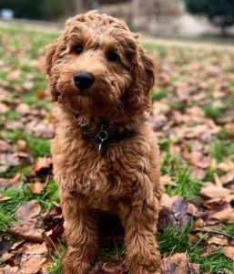 What Makes Breeders Different Labradoodles