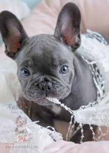 French Bulldog Puppies For Sale in Florida