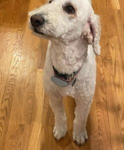Whoodle Dog Breed Guide