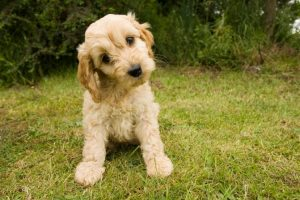 Why Get a Cockapoo puppy in kentucky