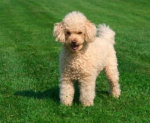 Why People Put Poodle Up For Adoption