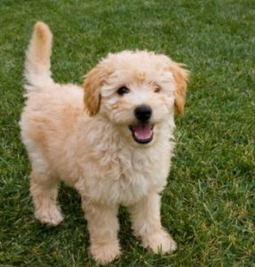 Why You Should Train Your Goldendoodle as a Puppy