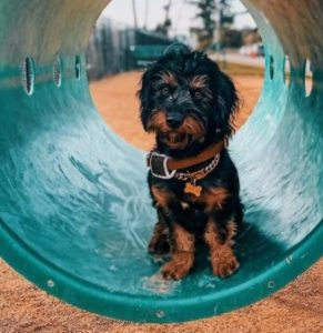 Yorkie puppies in Florida