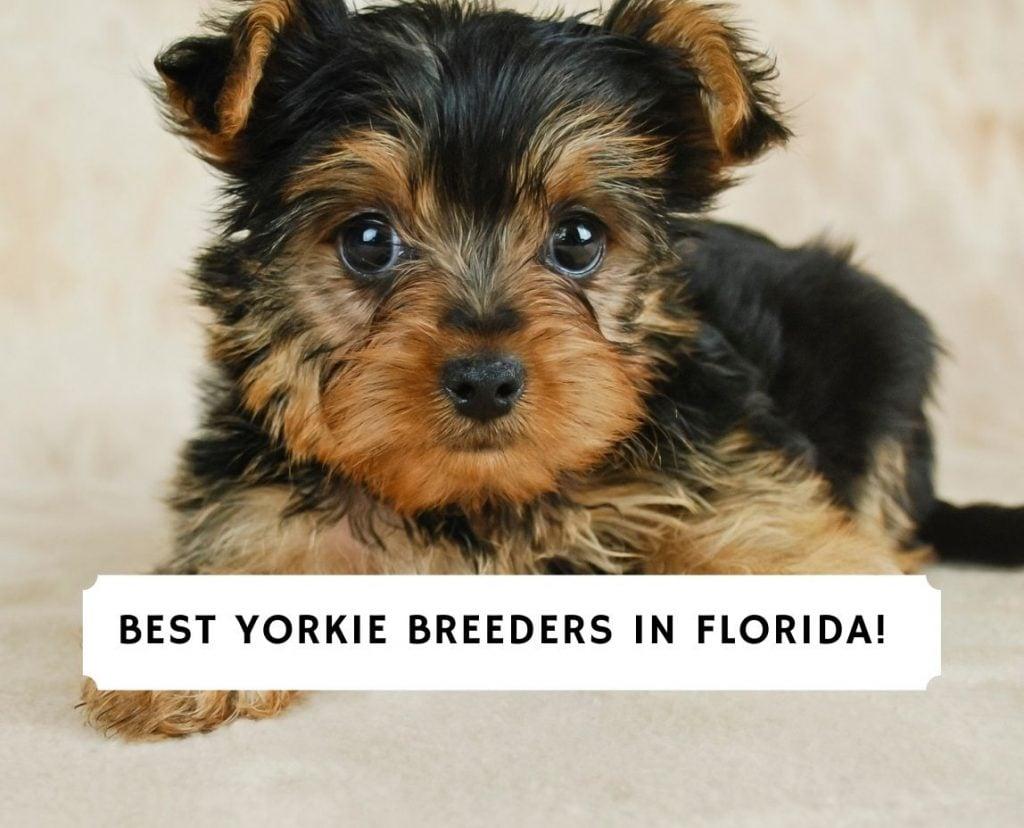Yorkie Breeders in Florida