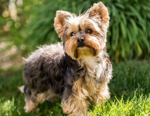 Yorkie puppies for sale in New York