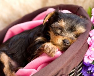 Yorkie puppies in North Carolina