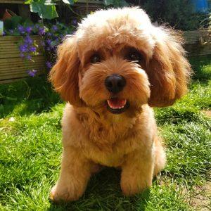 best brush for cavapoo puppy