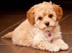 Maltipoo Puppies for sale in Virginia