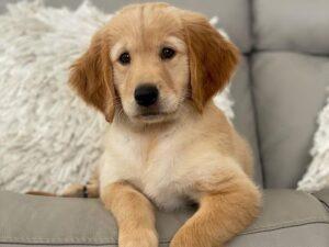 puppyspot golden retrievers north carolina