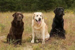 What Makes the Labrador Retriever Special?