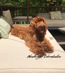 woodbridge labradoodle puppies in connecticut