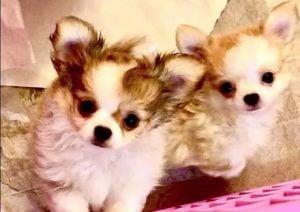 Eva's Chihuahua, Edensecretcats