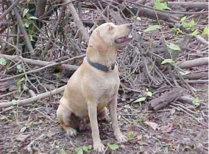 About the Cajun Cur breed