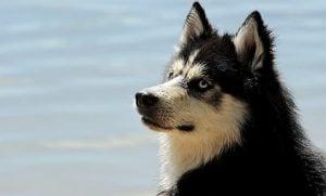 exotic male husky names