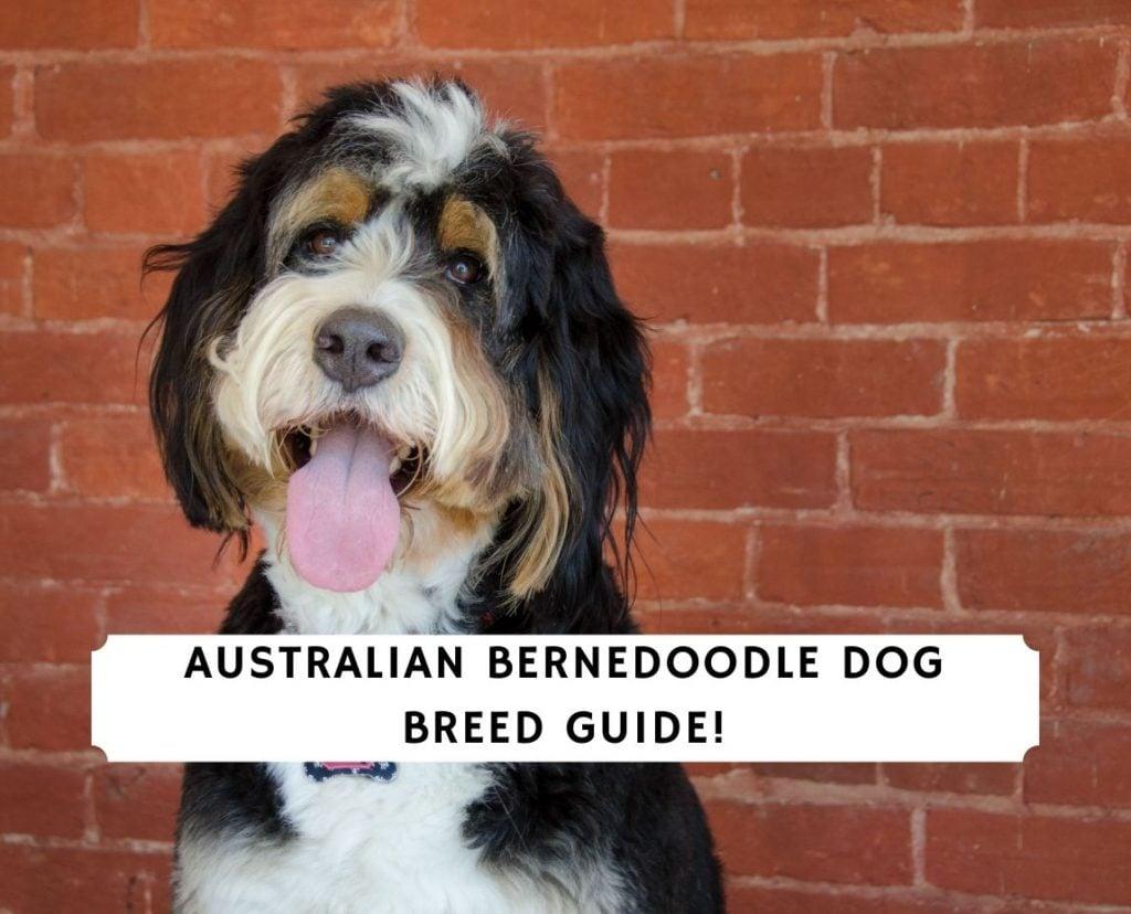 Australian Bernedoodle