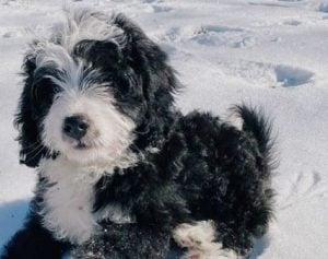 Australian Bernedoodle Dog Breed Guide