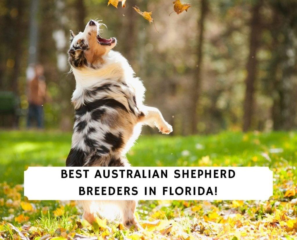 Australian Shepherd Breeders in Florida
