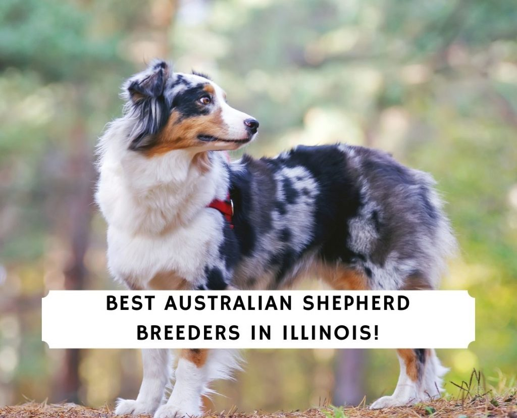 Australian Shepherd Breeders in Illinois