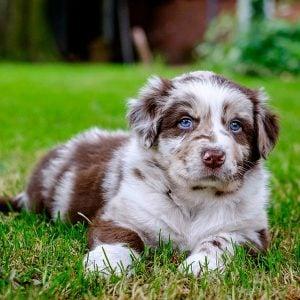 Australian Shepherd Puppies in Illinois