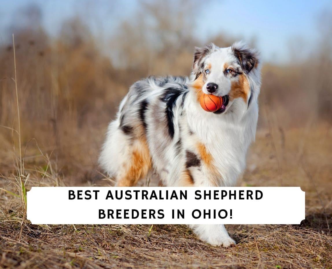 Australian Shepherd Breeders in Ohio