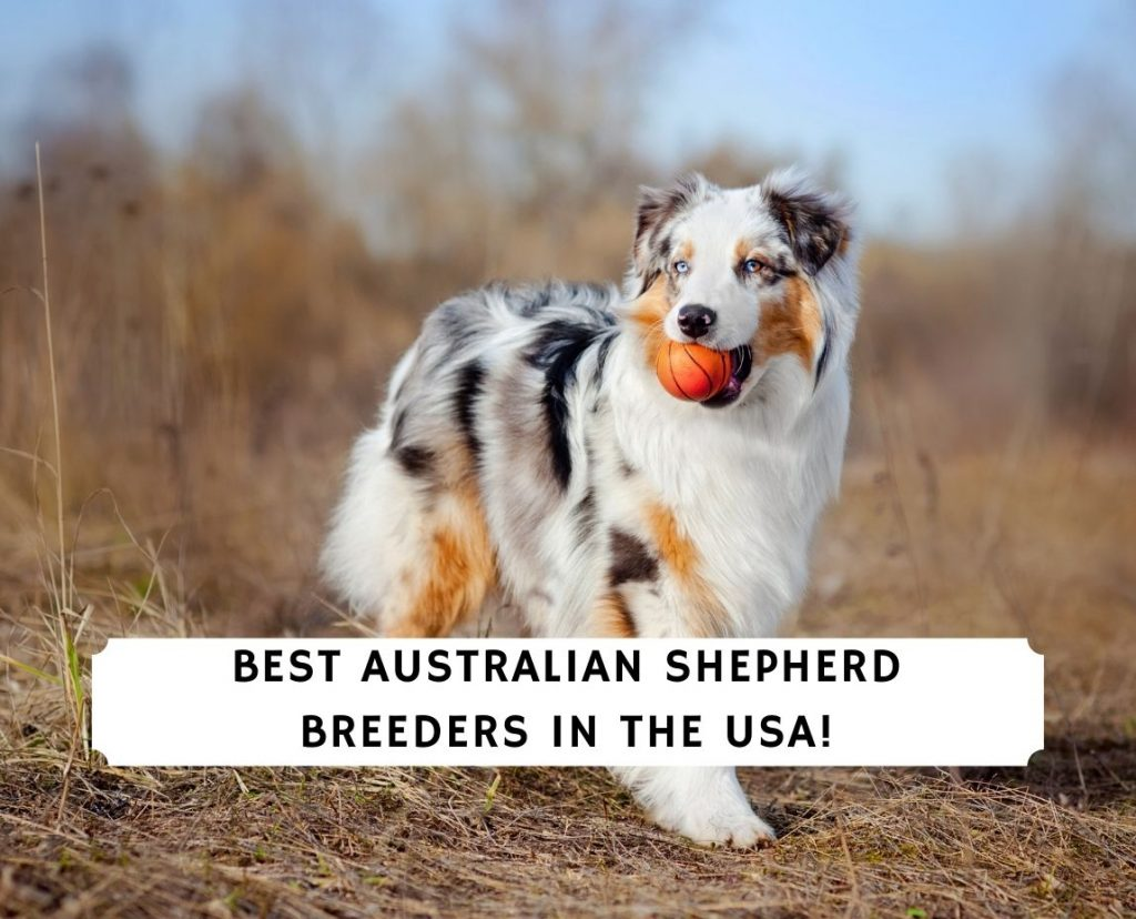 Australian Shepherd Breeders in the USA