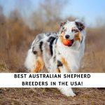 Australian Shepherd Breeders in the USA
