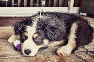 Australian Shepherd Dog Breed Info