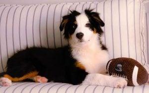 Australian Shepherd Puppies For Sale in Florida