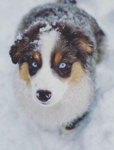 Australian Shepherd Puppies For Sale in Ohio