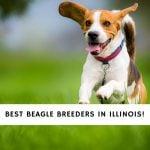 Beagle Breeders in Illinois